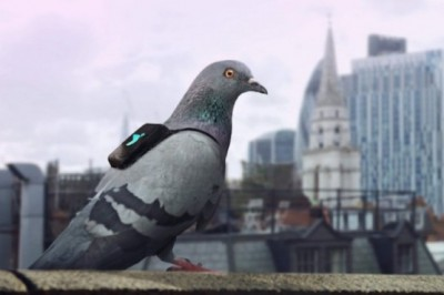 Pigeons Equipped With Sensors To Measure Air Pollution